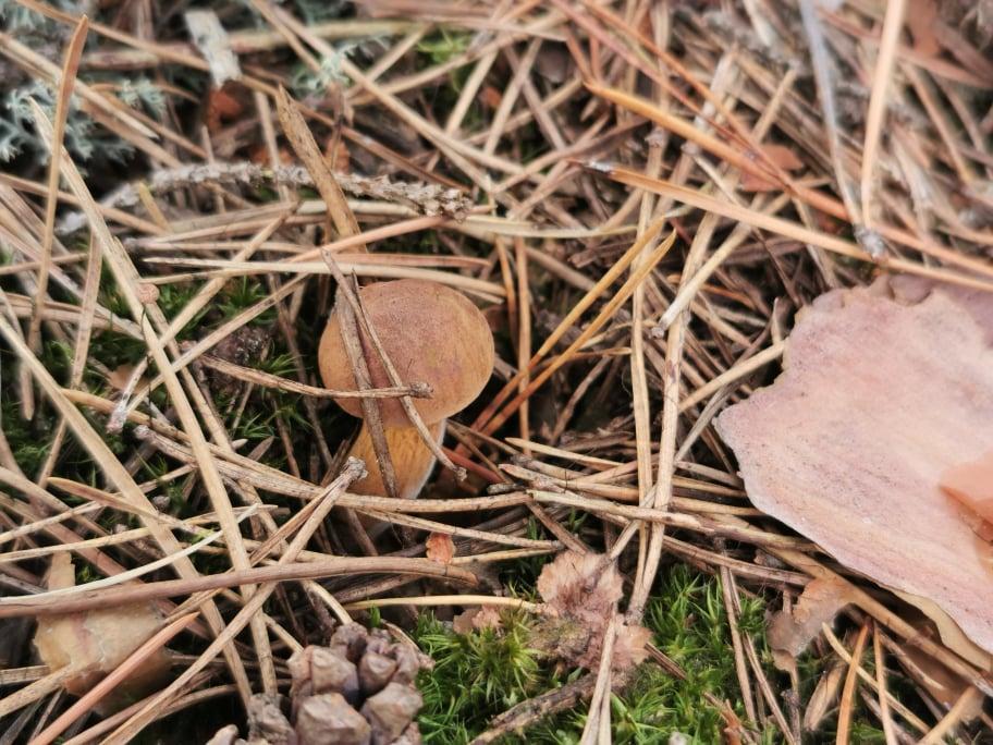 podgrzybki w lesie
